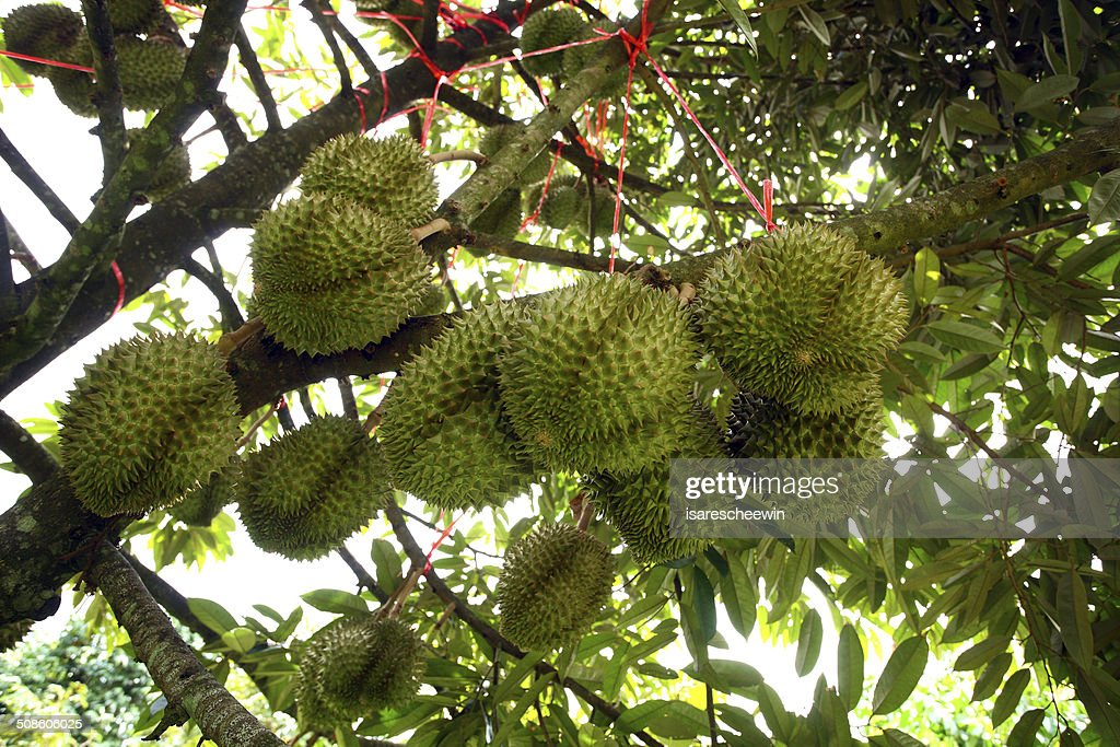 Durian : Stock Photo