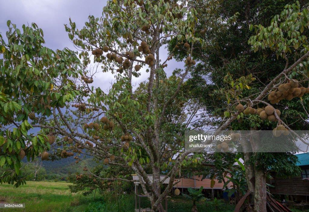 Durians at Bario, Sarawak, Malaysia : Stock Photo