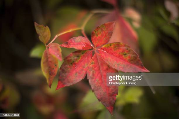 During a break from the rain of Storm Aileen the leaves of the Virginia creeper begin to take on their Autumn colour at the Tu Hwnt i'r Bont tea room...