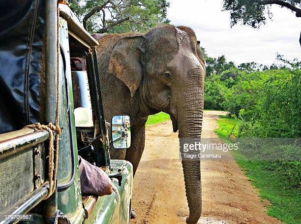 During a safari in Yala Park, in Sri Lanka, the group I was in was very fortunate to have this huge elephant crossing our way, literraly. This...