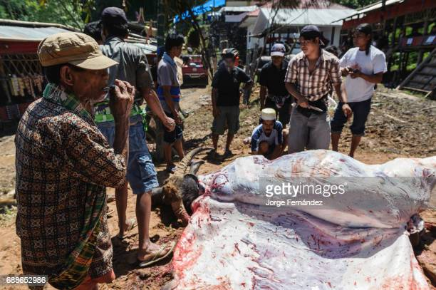 During a traditional ritual funeral of the Tana Toraja after all the animals are killed the men skin and tear them to pieces in order to distribute...