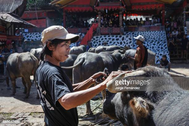 During a traditional ritual funeral of the Tana Toraja relatives friends and neighbours bring animals for the ritual sacrifice They show them in...
