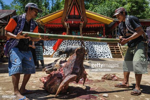 During a traditional ritual funeral of the Tana Toraja the heads of the buffalos are kept Their horns will adorn the deceased burial place The more...