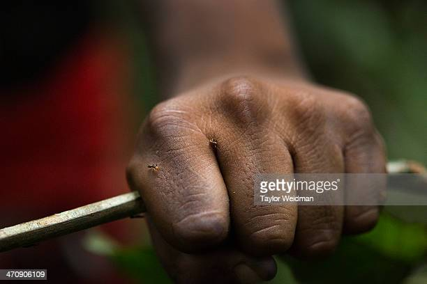 During a warrior initiation test a young Xikrin man cuts down a branch covered in fire ants and waits for the ants to swarm and bite The indigenous...