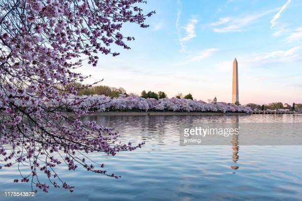 during national cherry blossom festival, washington monument in washington dc,usa - washington dc stock pictures, royalty-free photos & images
