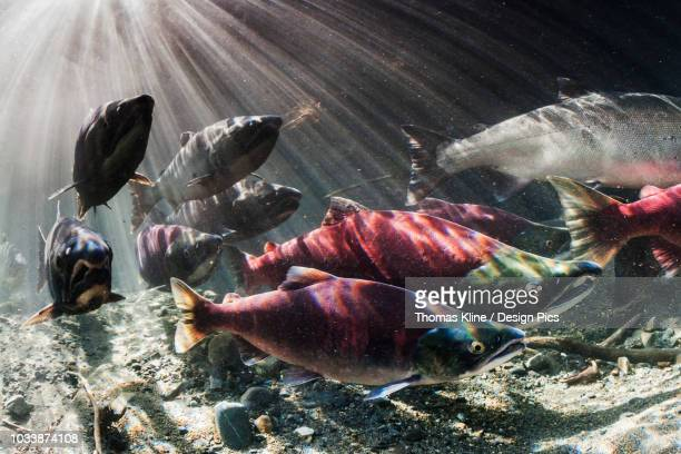 During September, Sockeye and Coho salmon (Oncorhynchus nerka and kisuch) intermingle during their spawning migration in an Alaskan stream