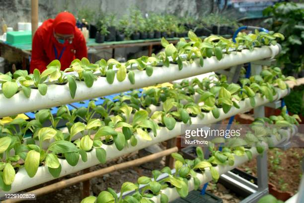 During the pandemic, residents used the remaining land on site to make urban farming in Malaka Sari, Duren Sawit, Jakarta, on October 2020. More than...