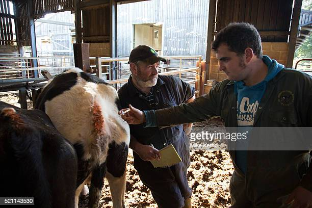 During the regular weekly visit from the vet James Clark gives and injection to a cow which has been diagnosed as not in calf Keeping a healthy herd...