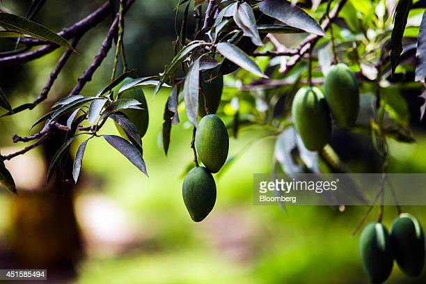 Dusehri mangoes hang from a tree at an orchard in Hardoi Uttar Pradesh India on Friday June 27 2014 Indian Prime Minister Narendra Modis government...