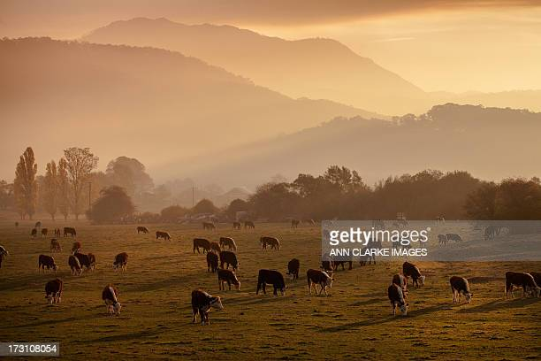 dusk over the mountains - livestock stock pictures, royalty-free photos & images