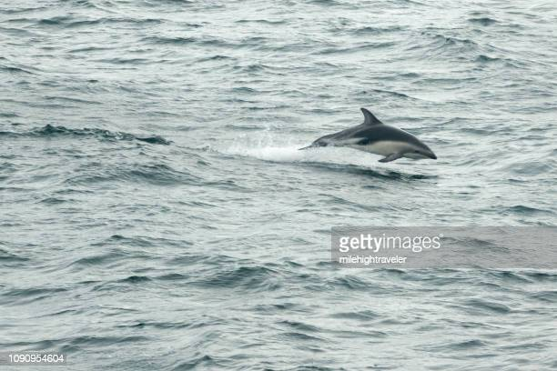 dusky dolphin airborne beagle channel puerto williams chile - milehightraveler stock pictures, royalty-free photos & images