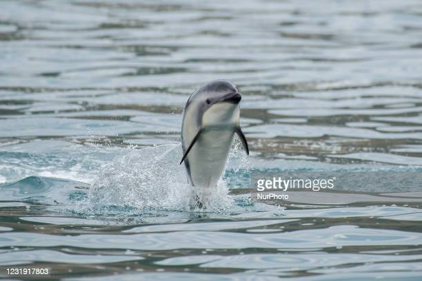 Dusky dolphin jumps out of water in Kaikoura bay in Kaikoura Peninsula, South Island, New Zealand on March 25, 2021. Kaikoura is recognized as one of...