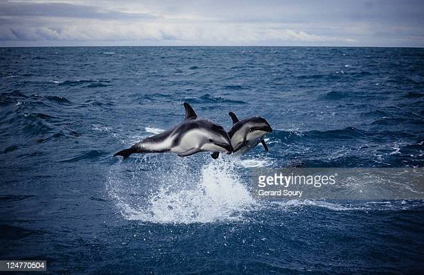 dusky dolphin, lagenorhynchus obscurus, leaping, new zealand
