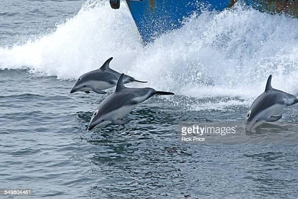 dusky dolphins breaching - schiffsbug stock-fotos und bilder