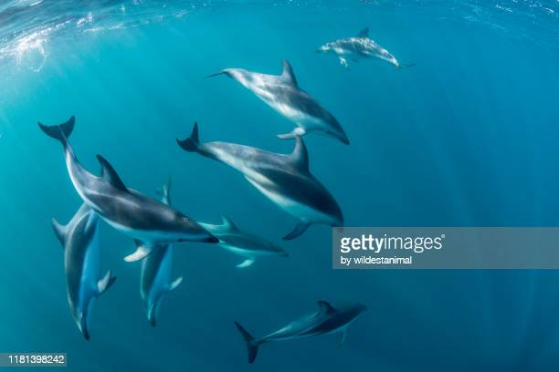 dusky dolphins, lagenorhynchus obscurus, in blue water, nuevo gulf, valdes peninsula, argentina. - sea life stock pictures, royalty-free photos & images