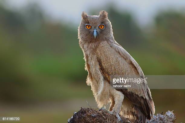 dusky eagle owl - markhor stock photos and pictures