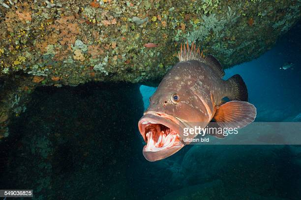 Dusky Grouper open Mouth Epinephelus marginatus Dofi North Medes Islands Costa Brava Mediterranean Sea Spain