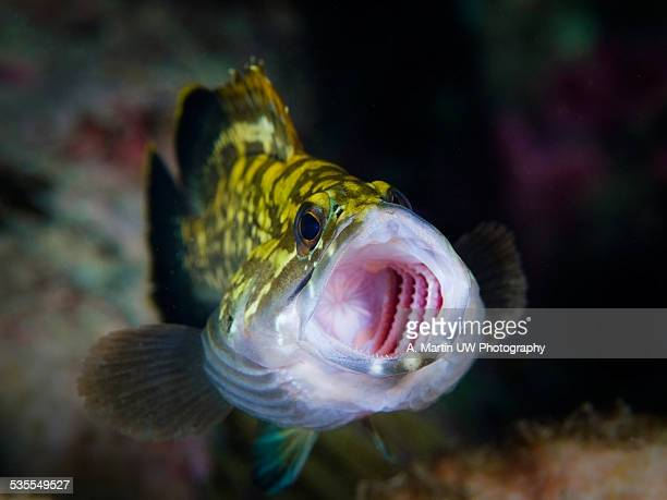 dusky grouper yawning - big game fishing stock photos and pictures