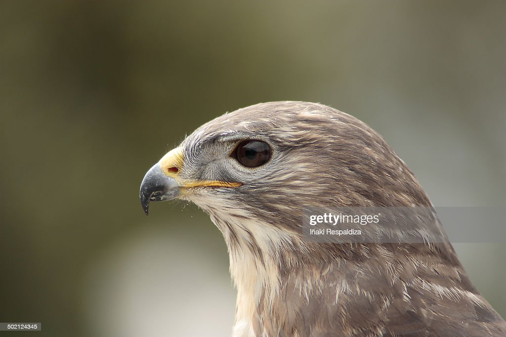 Dusky Hawk : Foto de stock