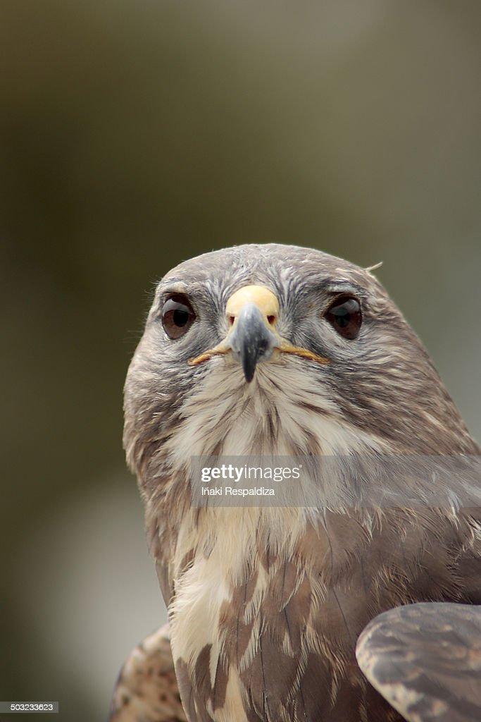 Dusky hawk : Foto de stock