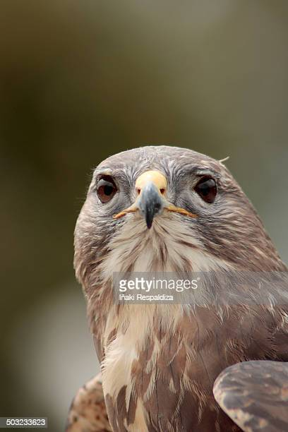 dusky hawk - iñaki respaldiza stock pictures, royalty-free photos & images
