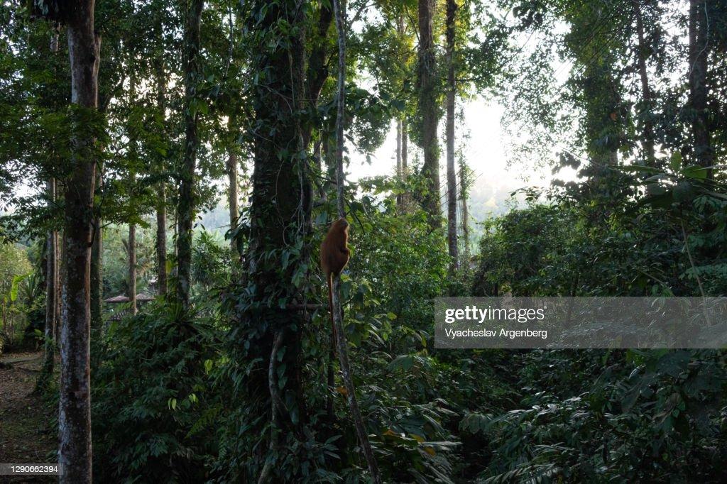 Dusky leaf monkey (langur) in tropical rainforest, Borneo : Stock Photo
