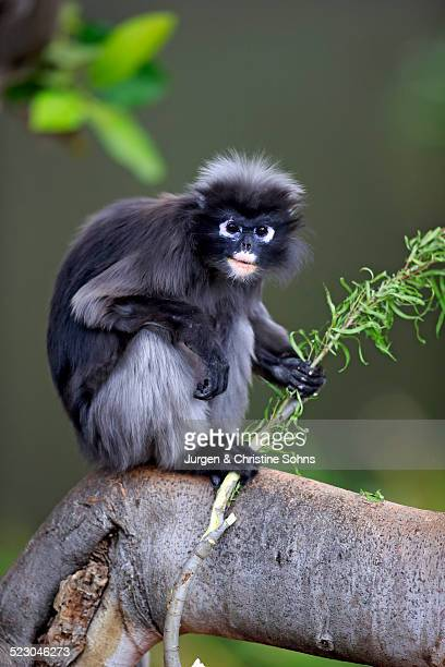 dusky leaf monkey or southern langur -trachypithecus obscurus-, adult on tree holding food, native to asia, singapore - animal digestive system stock photos and pictures