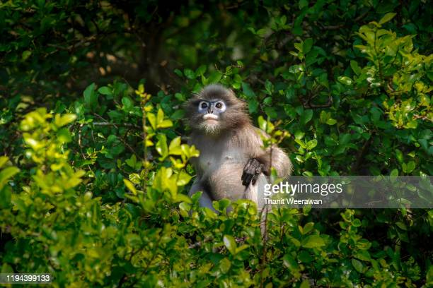 dusky leaf monkey - prachuap khiri khan province stock pictures, royalty-free photos & images