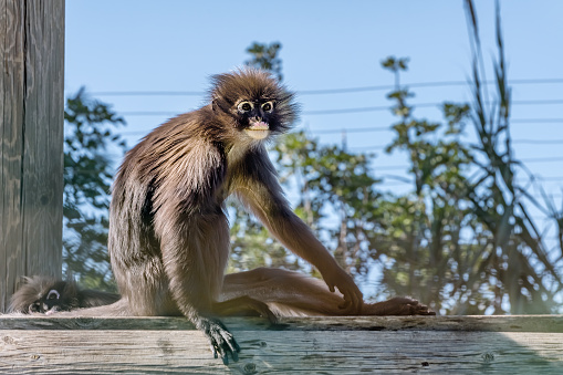 Dusky leaf monkey, spectacled langur. Exotic monkeys in the Monkey Forest in Yodfat, Israel. Natural conditions for freely moving animals in outdoor 1218636153