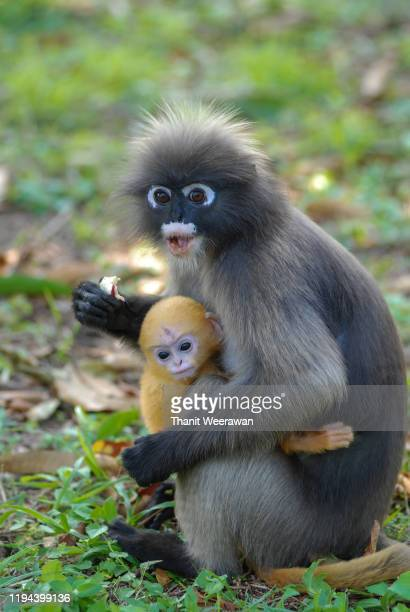 dusky leaf monkey with her baby in nature - prachuap khiri khan province stock pictures, royalty-free photos & images