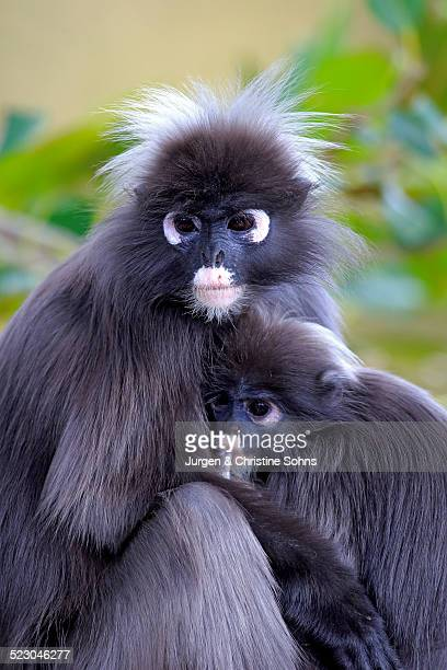 dusky leaf monkeys or southern langurs -trachypithecus obscurus-, female suckling young, native to asia, singapore - animal digestive system stock photos and pictures