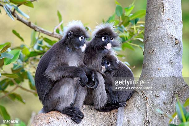 dusky leaf monkeys or southern langurs -trachypithecus obscurus- monkey family on tree, female suckling young, native to asia, singapore - animal digestive system stock photos and pictures
