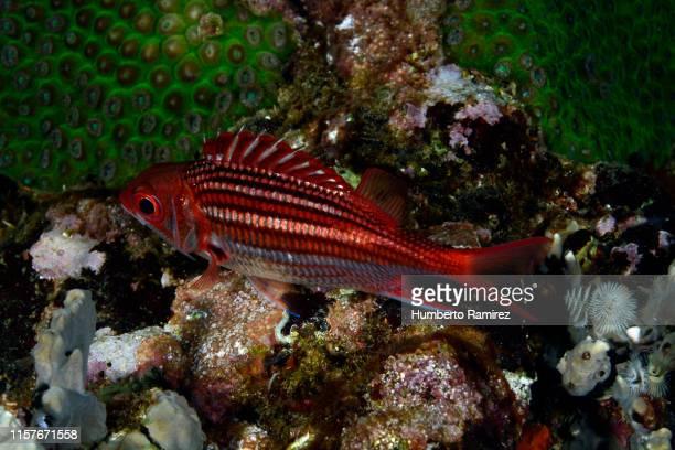 dusky squirrelfish. - squirrel fish photos et images de collection