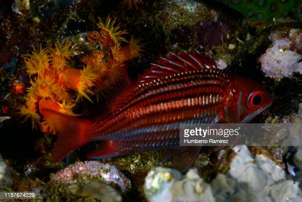 dusky squirrelfish. - squirrel fish stock photos and pictures
