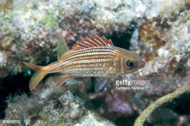 dusky squirrelfish. - squirrel fish 個照片及圖片檔