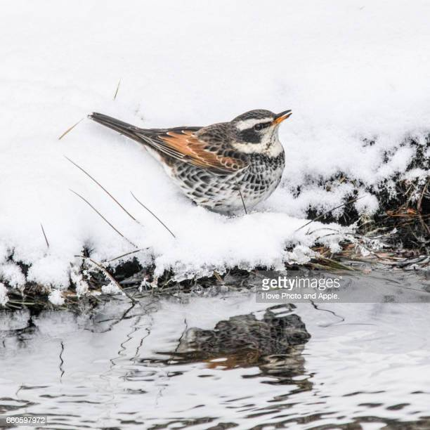 dusky thrush on the snow - 雪 stock pictures, royalty-free photos & images