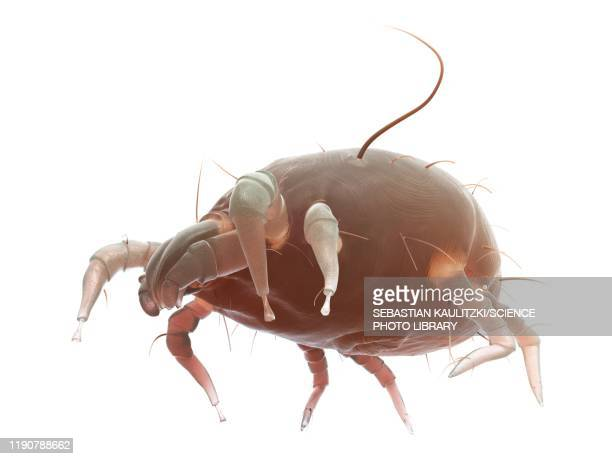 dust mite, illustration - parasite stock pictures, royalty-free photos & images