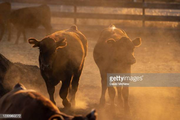 Dust rises around livestock as drought conditions worsen on July 12, 2021 near Glennville, California. Authorities are bracing for a predicted driest...