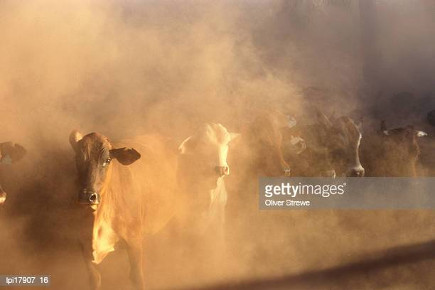 Dusty cattle muster, Front view, Cape York Peninsula, Australia