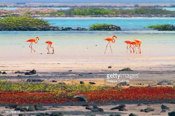 dutch antilles. bonaire. pink flamingos. - ボネール島 ストックフォトと画像