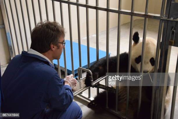 Dutch Consulgeneral to Chongqing Koen Sizoo feeds giant panda Wu Wen at Wolong National Nature Reserve before the panda leaves for Netherlands on...