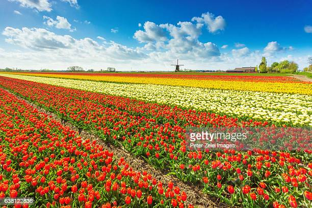 Dutch countryside eith tulip fields and windmill, South Holland, the Netherlands