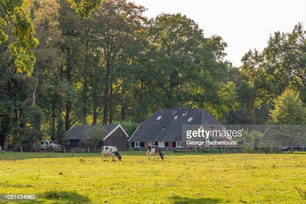 dutch farm house and cows - landelijke scène stockfoto's en -beelden