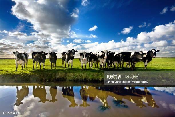 dutch holstein cows standing in a field reflected in water - grazen stockfoto's en -beelden