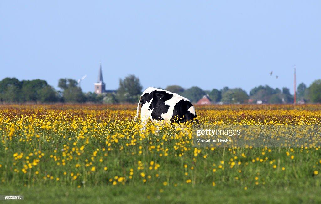 Dutch landscape with cow : Stock Photo