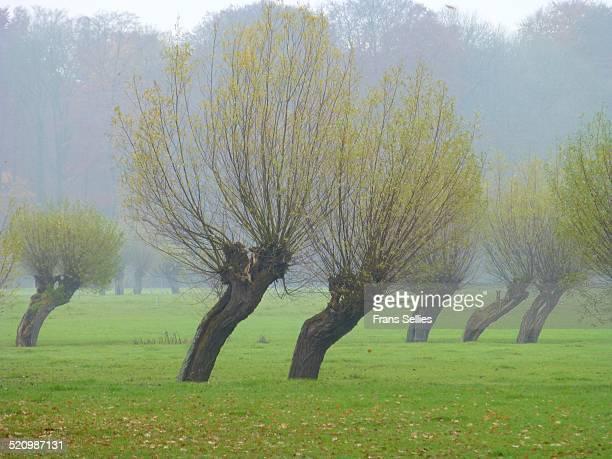 dutch landscape with willows - frans sellies stockfoto's en -beelden