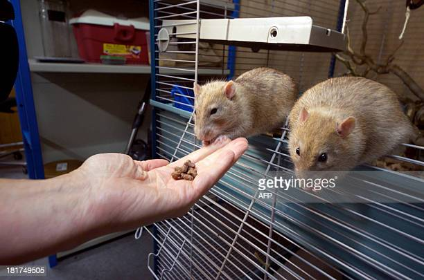 Dutch police inspector Monique Hamerslag holds a rat in the premises of the Dutch police in Rotterdam on September 18 2013 Since the end of 2011 the...