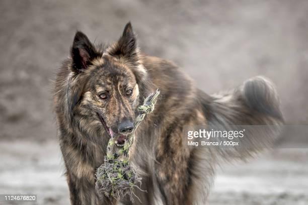Dutch Shepard Dog