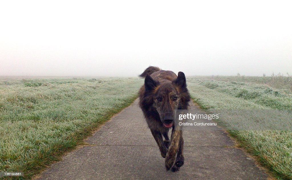 Dutch shepherd dog running : Stock Photo
