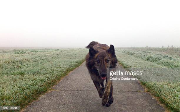 Dutch shepherd dog running